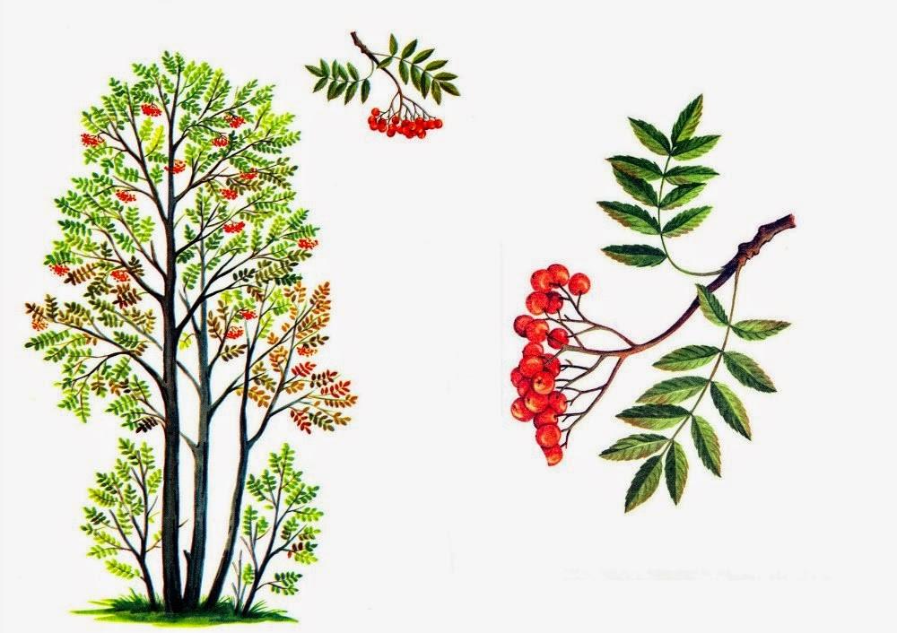 Рисовать дерево рябина